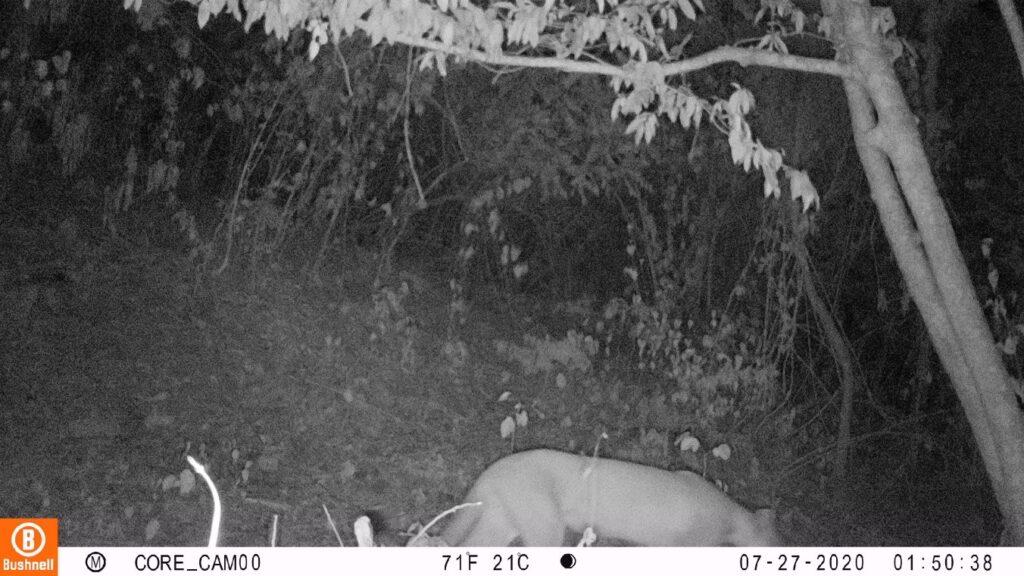 Puma del Bosque Seco de la Sierra Nevada